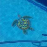 Mosaico para Piscina tartaruga com Sombra